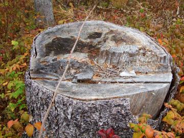 Black spruce stump