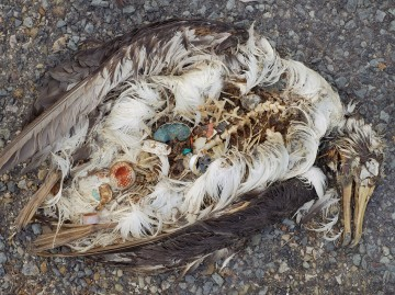 Decaying corpse of duck at the Midway atoll, stomach full of intgested plastic