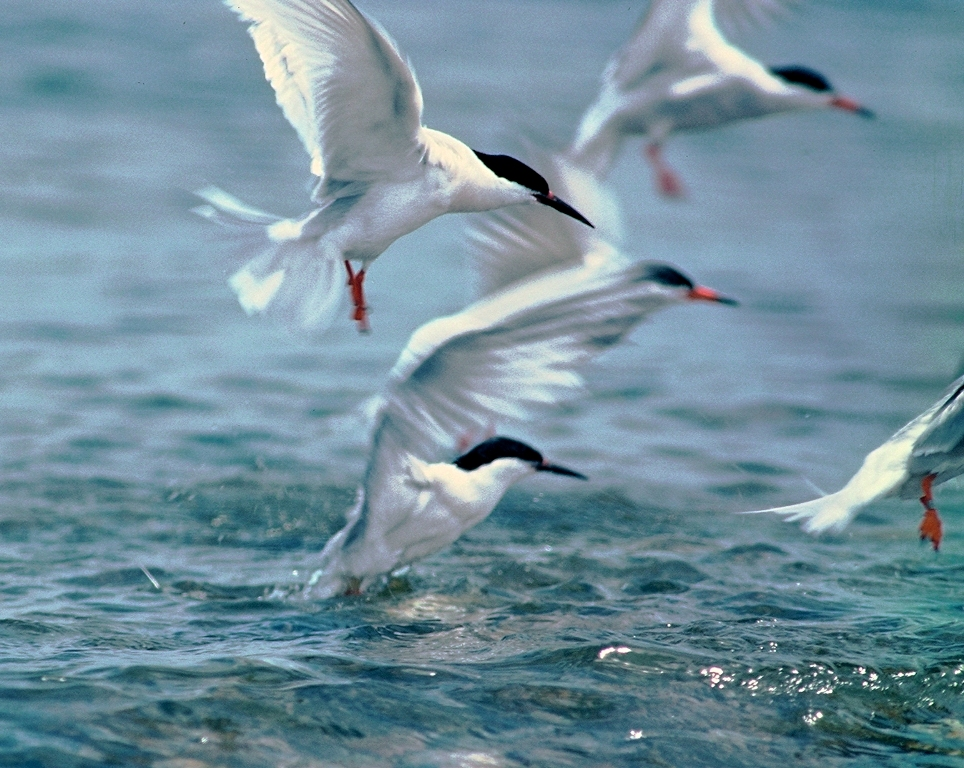 Roseate And Common Terns