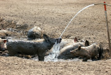 Pigs wading and drinking
