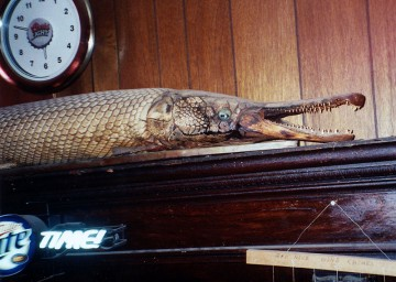 Alligator gar in tavern