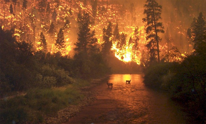 Elk in river with wildfire behind