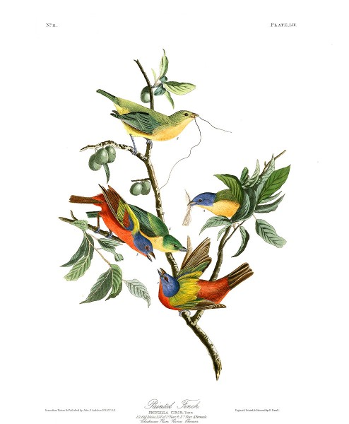 """Painted Finch"" by John James Audubon"