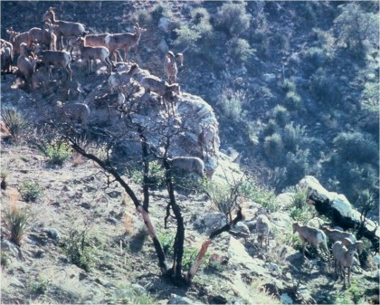 Catalina bighorn sheep in 1977.