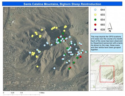 Satellite image showing ewes with lambs at Catalina State Park.