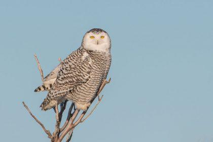 Snowy owl in snag