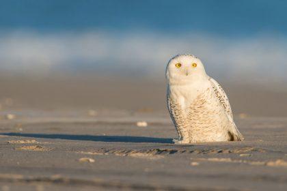 Snowy owl on beach