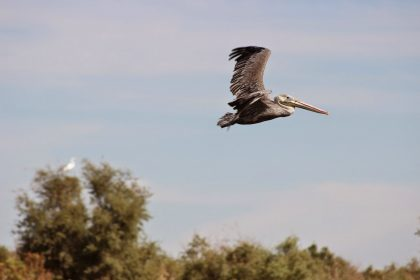 Salton Sea pelican