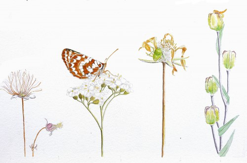 Grassland wildflowers, by Lyn Baldwin