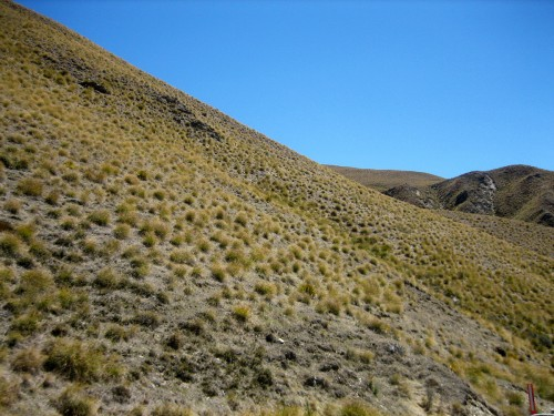 Central Otago tussock. Photo by Liesl Nunns.