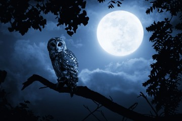 owl-night