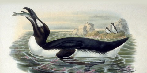 great-auk-2