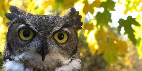 owl-autumn-leaves