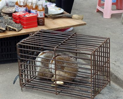 Slow loris in a cage.
