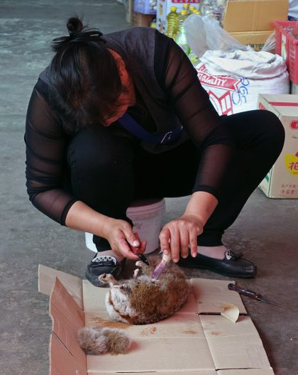 Mongla market worker cutting up slow loris