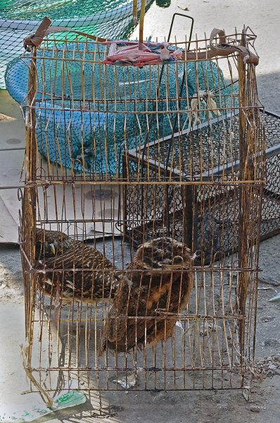 Live owls cowering in a cage.