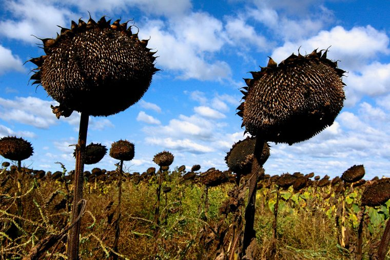 A murderous sunflower scene