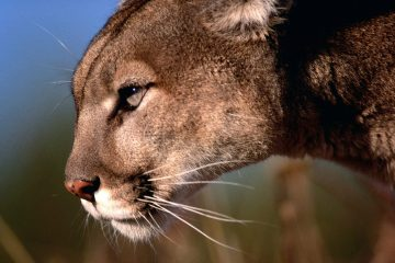 On the Trail of Mountain Lions, by Melissa L. Sevigny