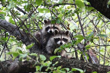 Old Roads, New Stories: Raccoon Verses by Rob Carney