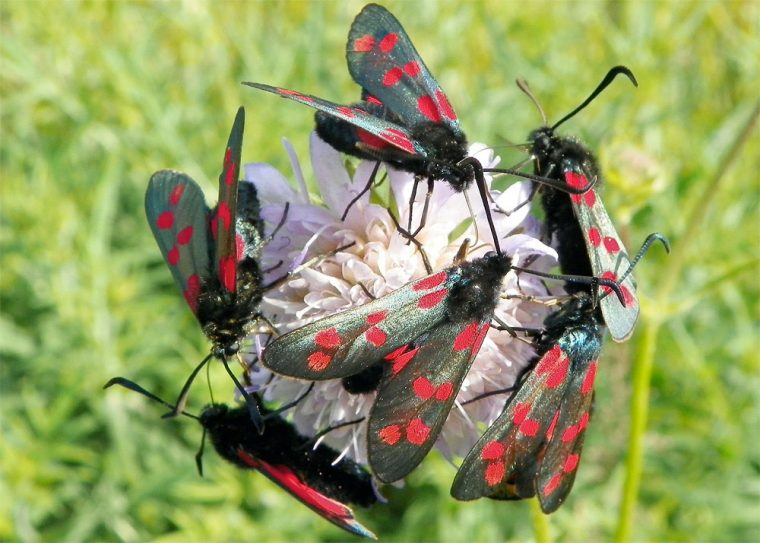 Six-spot burnet moths