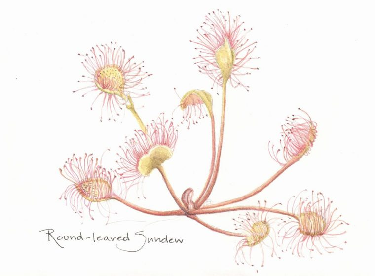 Illustration of sundew