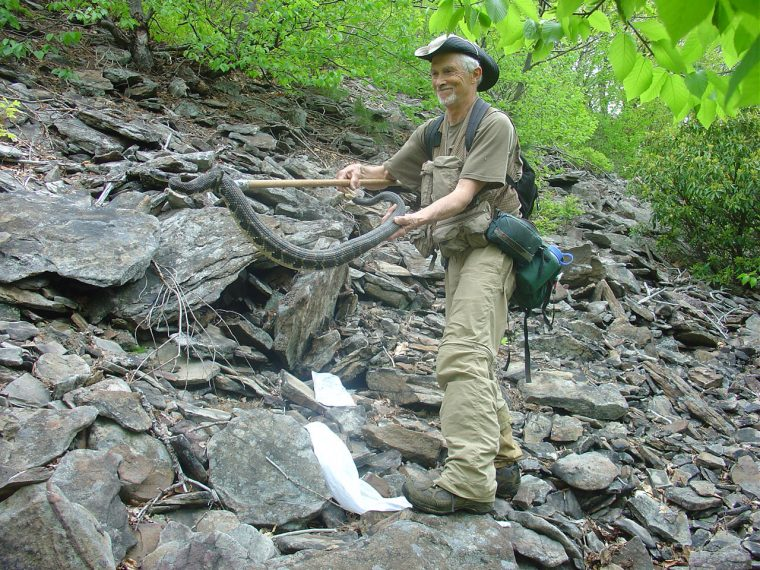 W. H. Martin handles an Eastern timber rattlesnake
