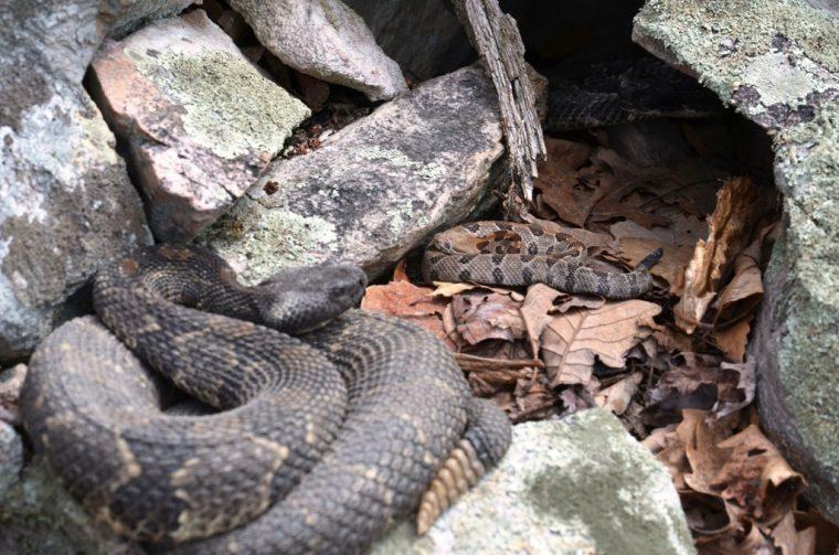 Two rattlesnakes