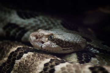 Ambassador for Rattlesnakes, by Ed Zahniser