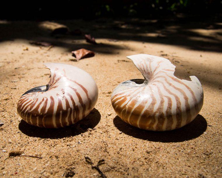 Two nautilus shells. Photo by Julian Hoffman.