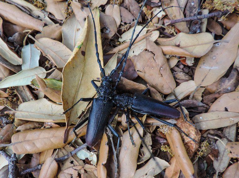 Beetles battling