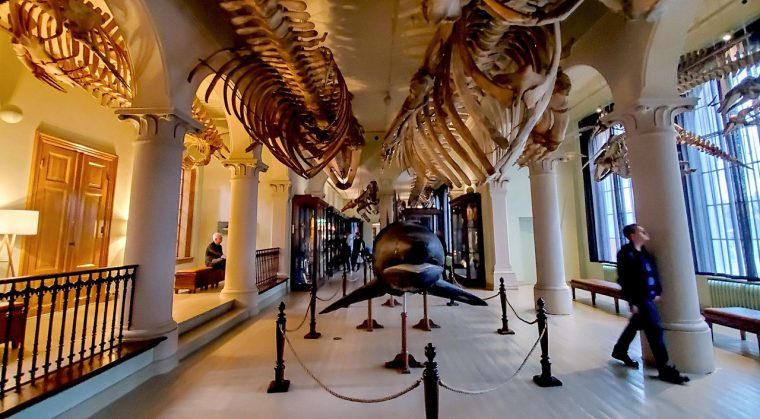 Whales skeletons at the museum. Photo by David Rothenberg.