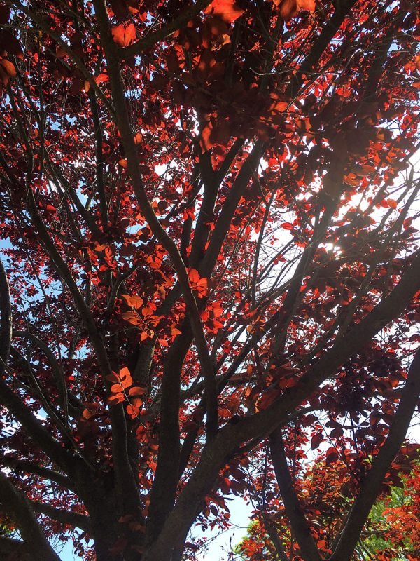Plum trees with deep red leaves.