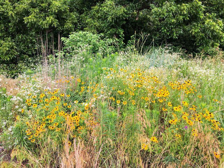 Restoration prairie grasses and wildflowers. Photo by Gretchen VanWormer.