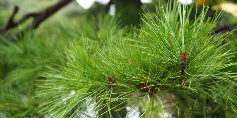 Slash pine needles