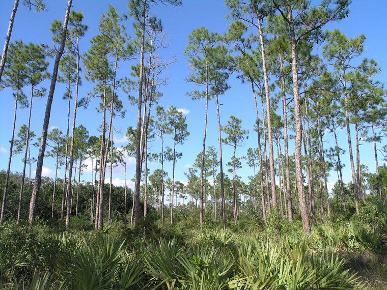 Slash pine in Everglades National Park