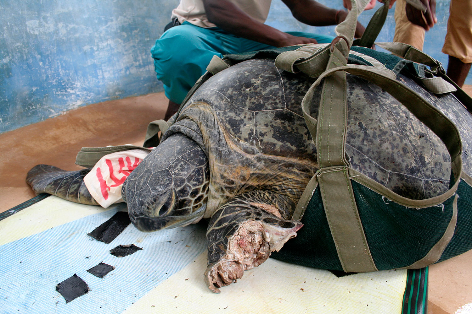 Injured sea turtle. Photo by Amy Yee.